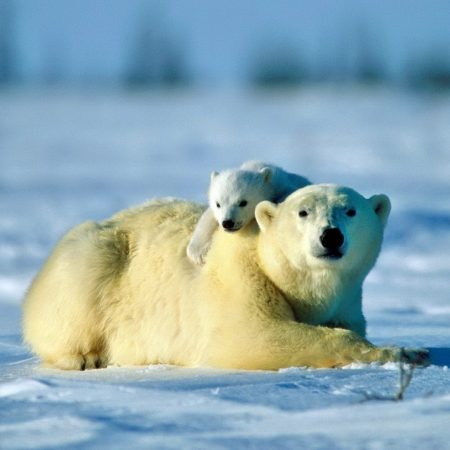 polar bear, bear, couple