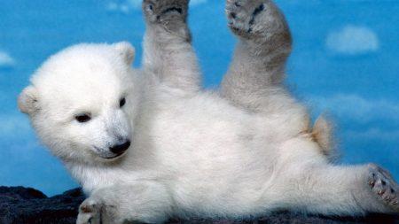 polar bear, bear, cub