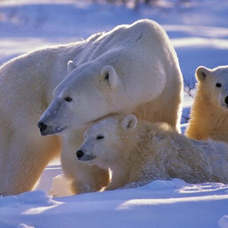 polar bear, bear, family