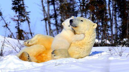 polar bear, couple, young