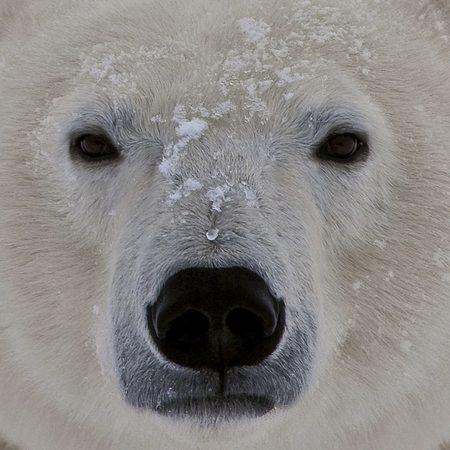 polar bear, face, fat