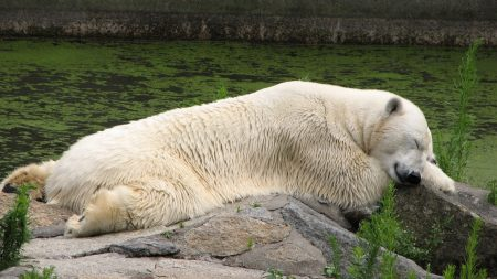 polar bear, lying, grass