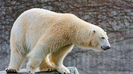 polar bear, rocks, lie