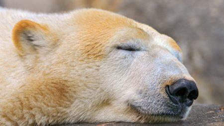 polar bear, sleeping, snow