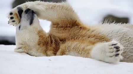 polar bear, snow, lying