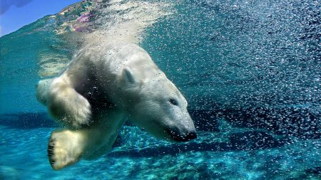 polar bear, underwater, swimming