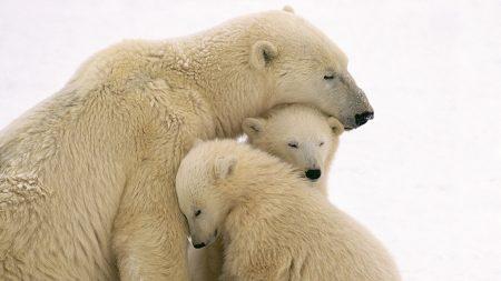 polar bears, care, family