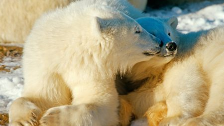 polar bears, couple, caring