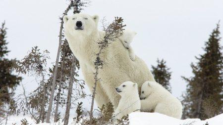 polar bears, cubs, family