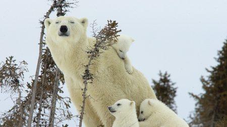polar bears, family, babies