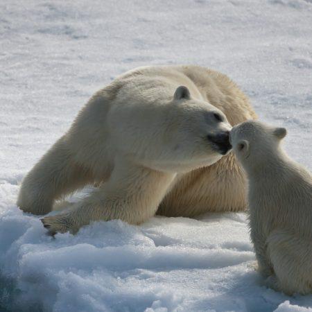 polar bears, family, cub