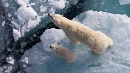 polar bears, ice, snow