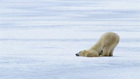 polar bears, playful, snow