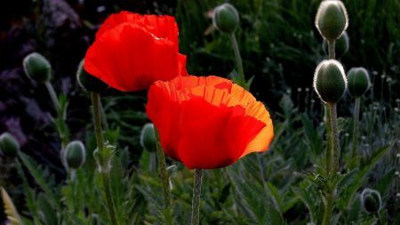 poppies, boxes, summer