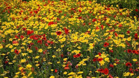 poppies, cornflowers, flowers
