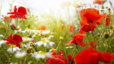 poppies, daisies, blur