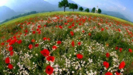 poppies, daisies, meadow