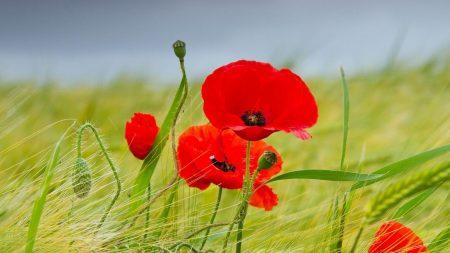 poppies, ears, field