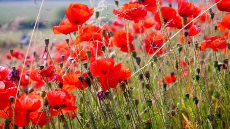 poppies, field, blurriness