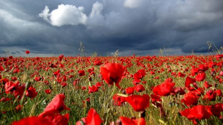 poppies, field, cloudy