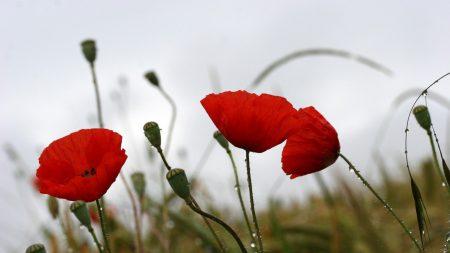 poppies, field, drops