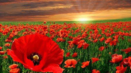 poppies, field, greens
