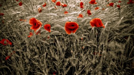 poppies, field, red