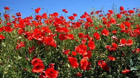 poppies, fields, green