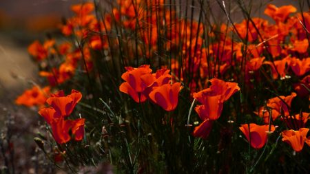poppies, flowers, grass