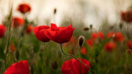 poppies, flowers, herbs