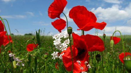 poppies, flowers, meadow