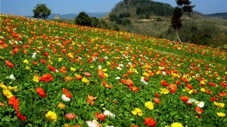 poppies, herbs, slope