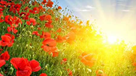 poppies, meadow, sun