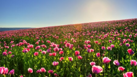 poppies, pink, field