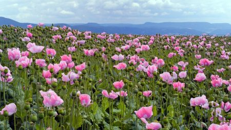 poppies, pink, meadow