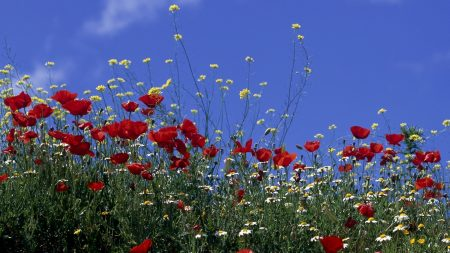 poppies, wild flowers, sky