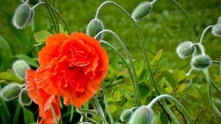 poppy, bloom, boxes