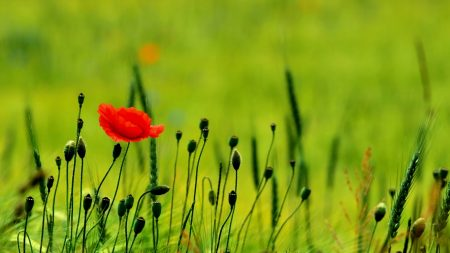 poppy, buds, boxes