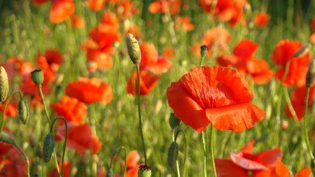 poppy, field, grass