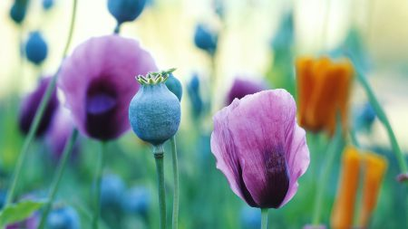 poppy, field, petals