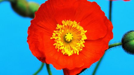 poppy, flower, close-up