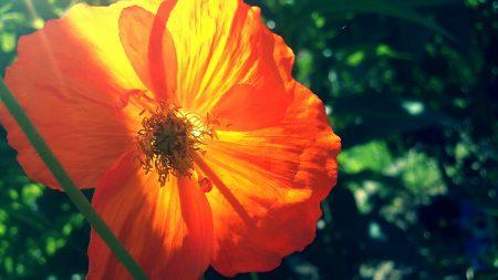 poppy, plant, summer