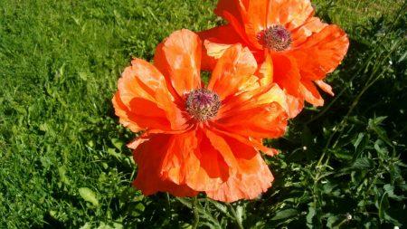 poppy, red, summer