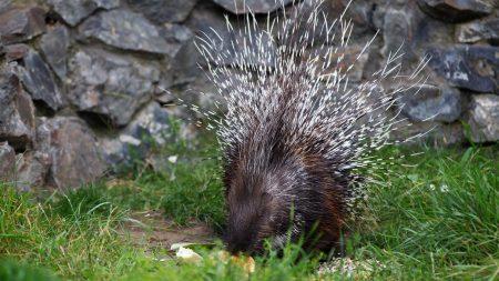 porcupine, food, thorns