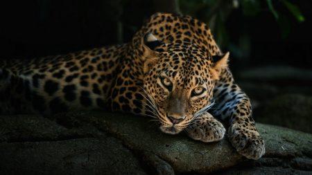 predator, leopard, look