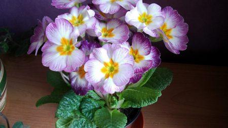 primrose, flower, leaves