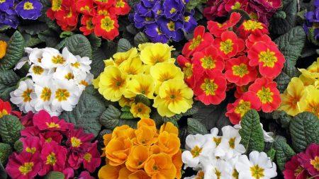 primrose, flowers, colorful