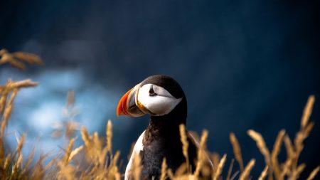 puffin, duck, bird