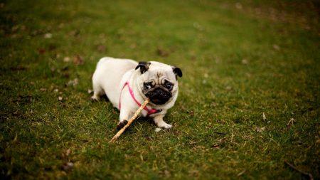 pug, dog, grass