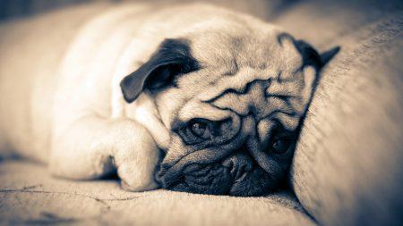 pug, lie down, sleep